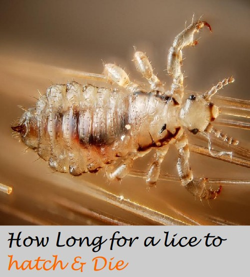 Time taken for a lice to hatch and die