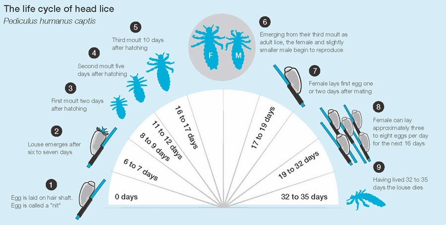 Lice and Life Cycle of Lice