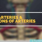 Veins, Arteries & Functions of Arteries