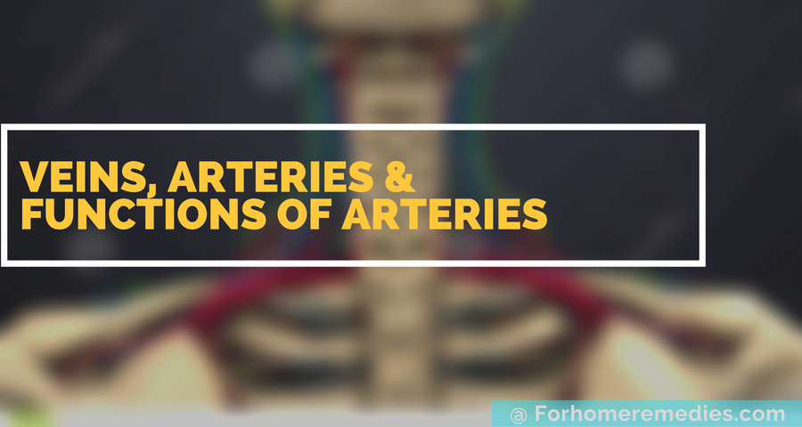 veins  arteries  u0026 functions of arteries